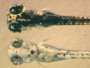 Zebrafish_embryos